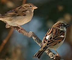 The House Sparrow is found all over the world