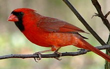 The North Cardinal is the state bird of Illinois